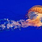 Sea Nettles Jellyfish (Chrysaora fuscescens) by Eyal Nahmias