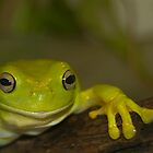Bert the Australian Tree Frog by Irene Scales