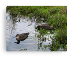 Ducks. Regular visitors. Canvas Print