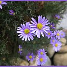 Cutleaf daisy.  _Brachyscome multifida_ by Northcote Community  Gardens