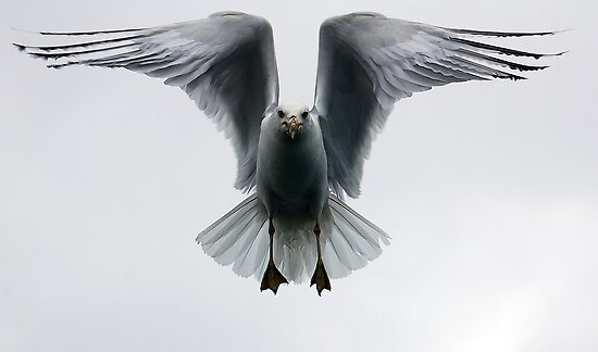 Seagull in flight by Alain Turgeon