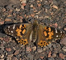 Painted Lady Butterfly by Robert Carr