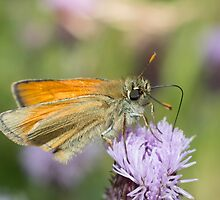Small Skipper Butterfly by Robert Carr