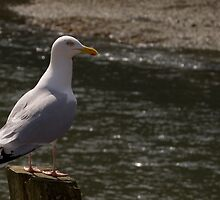 Ever Watchful Gull by lightmonger