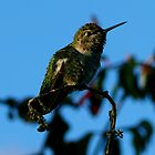 #237  Hummingbird Perched On Twig by MyInnereyeMike