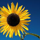 sunflower by maxi