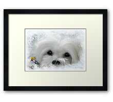 Snowdrop the Maltese of the Frozen North ! Framed Print