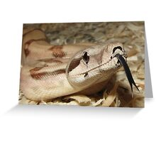 Hypomelanistic Boa Constrictor imperator with tongue Greeting Card