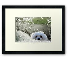 Snowdrop the Maltese - Please May I Come In ? Framed Print