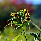 Nodding Bur-marigold by Kathleen Daley