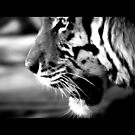 tiger 09 by Kittin