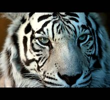 tiger 10 by Kittin