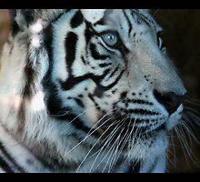 tiger 11 by Kittin