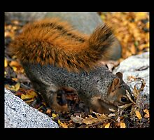 squirrel 02 by Kittin