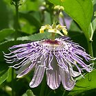 Passion flower by dewinged