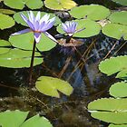 Lilies in Pond by emma155