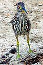 Green Heron by Eyal Nahmias