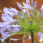 Insects just love Agapanthus! by Maree  Clarkson