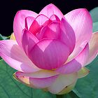 Lotus Blossom by Judith Winde