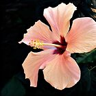 Hibiscus by PhotosByHealy