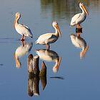 Perching Pelicans by David Kocherhans