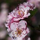 Crabapple Pink by Joy Watson