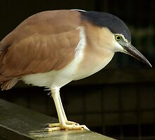 Night Heron by Aussiebluey