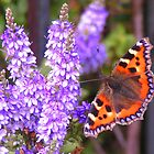 Tortoiseshell Butterfly by countrypix
