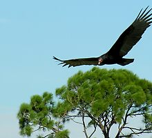 Turkey Vulture in Flight by Grayce Pedulla-Dillon