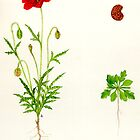 Common Poppy - Papaver rhoeas by Sue Abonyi