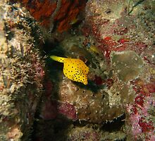 Yellow Boxfish by Greg Birkett