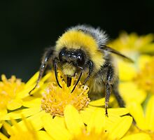 White-tailed Bumblebee by Robert Carr