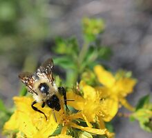 Busy bee on yellow flowers by prettymeadow