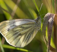 Green-veined White Butterfly by Robert Carr