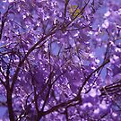 Jacaranda Season! by James Ottaway