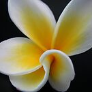 Frangipani 1 by Kathie Nichols