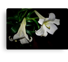 Two white lilies Canvas Print