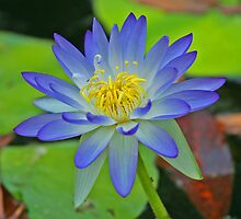 Purple Waterlily by Richard  Windeyer