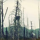 landscape picture of dead trees and mountain at Grand Teton National Park. by naturematters