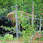 Big head bison in woods. Yellowstone National Park. by naturematters