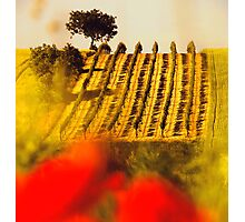 the vineyard on the hill behind the poppy field Photographic Print