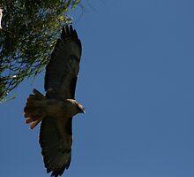 Red Tail Hawk in flight by cfam