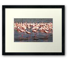 The flamingo shuffle Framed Print