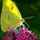 Male Cloudless Sulphur Butterfly by Suni Pruett