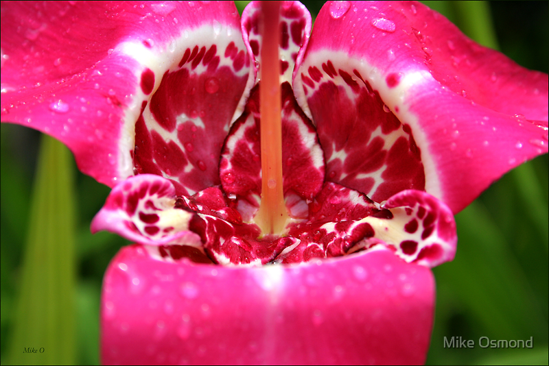 Pink Passion by MikeO