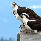 Osprey by trueblvr