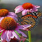Monarch Butterfly by Judith Winde