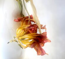 Faded Tulip by Ann Garrett