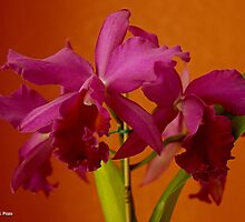 Purple Cattleya by Roland Pozo