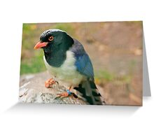 Red-billed Blue Magpie Greeting Card